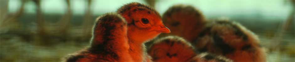 Pheasant chicks in an incubator