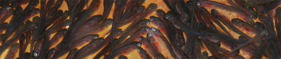 """Young trout known as """"fry"""""""